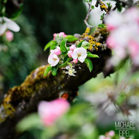 Apfelblüte – Stilllife