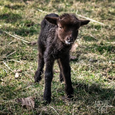 Lamm nach dem Milchtrinken – Tierfotografie
