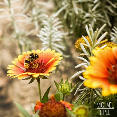 Hummel auf Blume – Tierfotografie