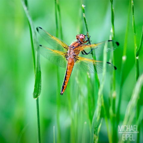 Libelle im Gras – Tierfotografie