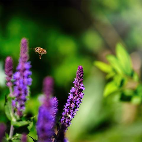 Biene im Flug – Tierfotografie