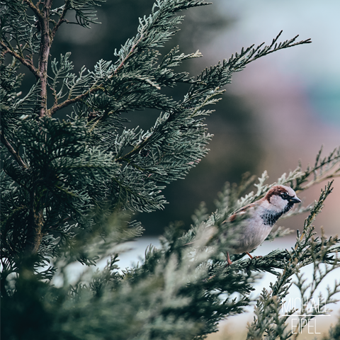 Spatz im Baum – Tierfotografie