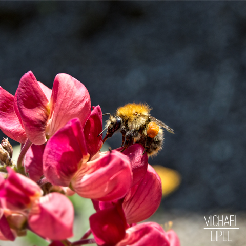 Hummel Close Up – Tierfotografie