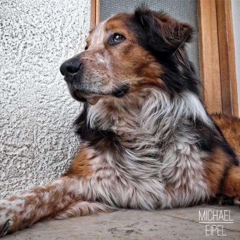 Leonberger Sennhund Mischling – Tierfotografie